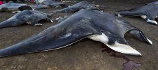 Save Manta Rays – Sign the Petition – Make 2013 The beginning to the end