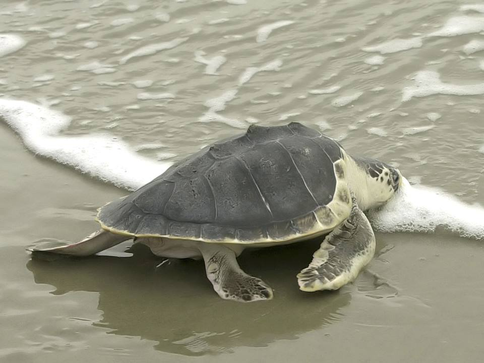 an overview of the ridleys sea turtle The kemp's ridley is the smallest of the eight species of sea turtles adults range from 75-100 pounds (34-45 kilograms) in 1880 a florida fisherman and naturalist named richard m kemp found the first documented specimen of this turtle.