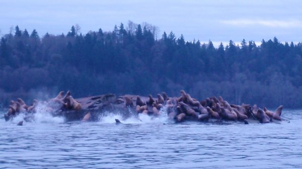 Dozens of sea lions were spotted on Dec. 24, 2011, on an anchored barge in the Nisqually Delta by Pete Topping, a Washington state wildlife biologist.