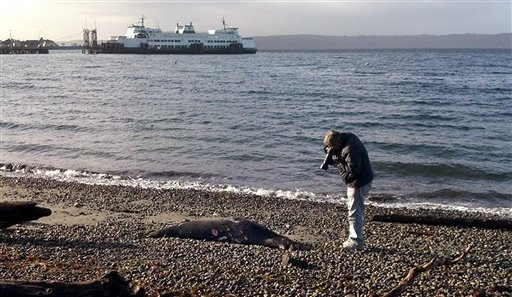 This dead sea lion with bullet wounds was found on a West Seattle beach on Jan. 23