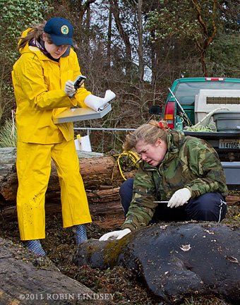Officials examine a dead sea lion found on a Seattle park beach on Jan. 23