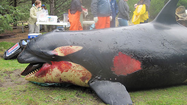 Killer whale possibly killed by U.S. military explosion