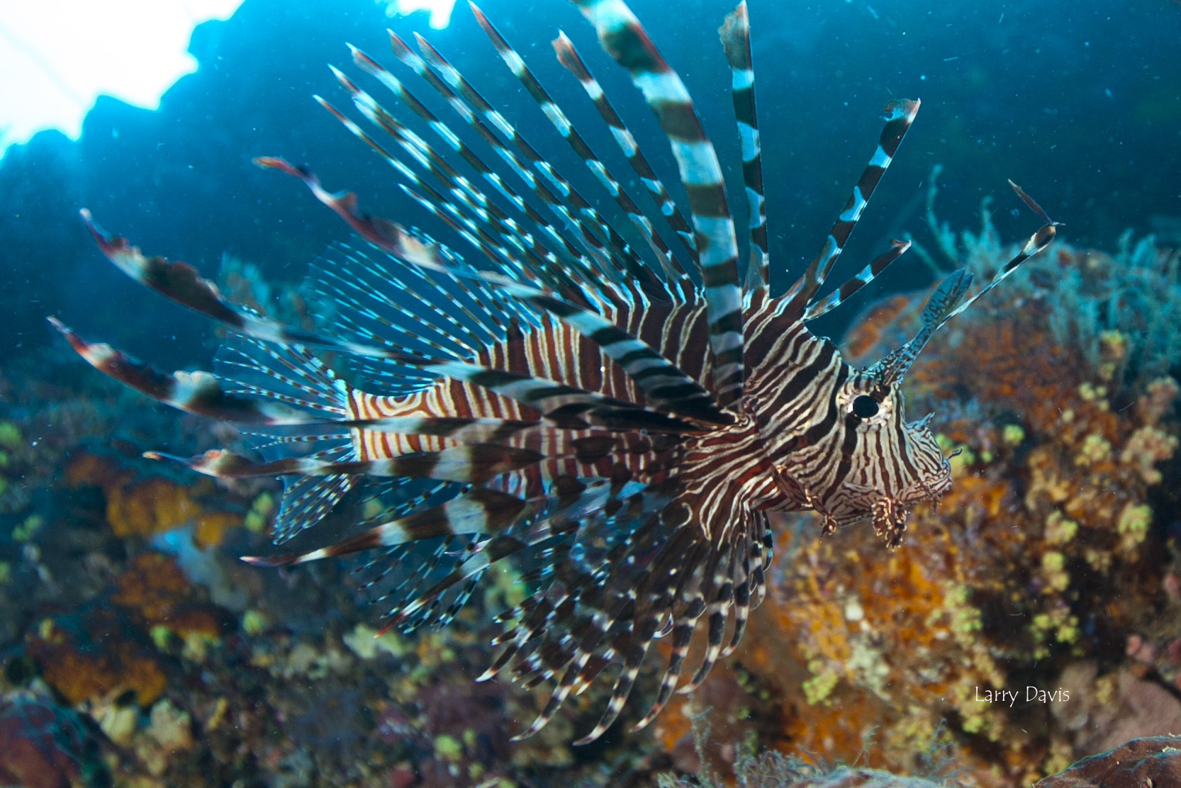 Florida Turns to Smartphone App in Battle Against Invasive Lionfish