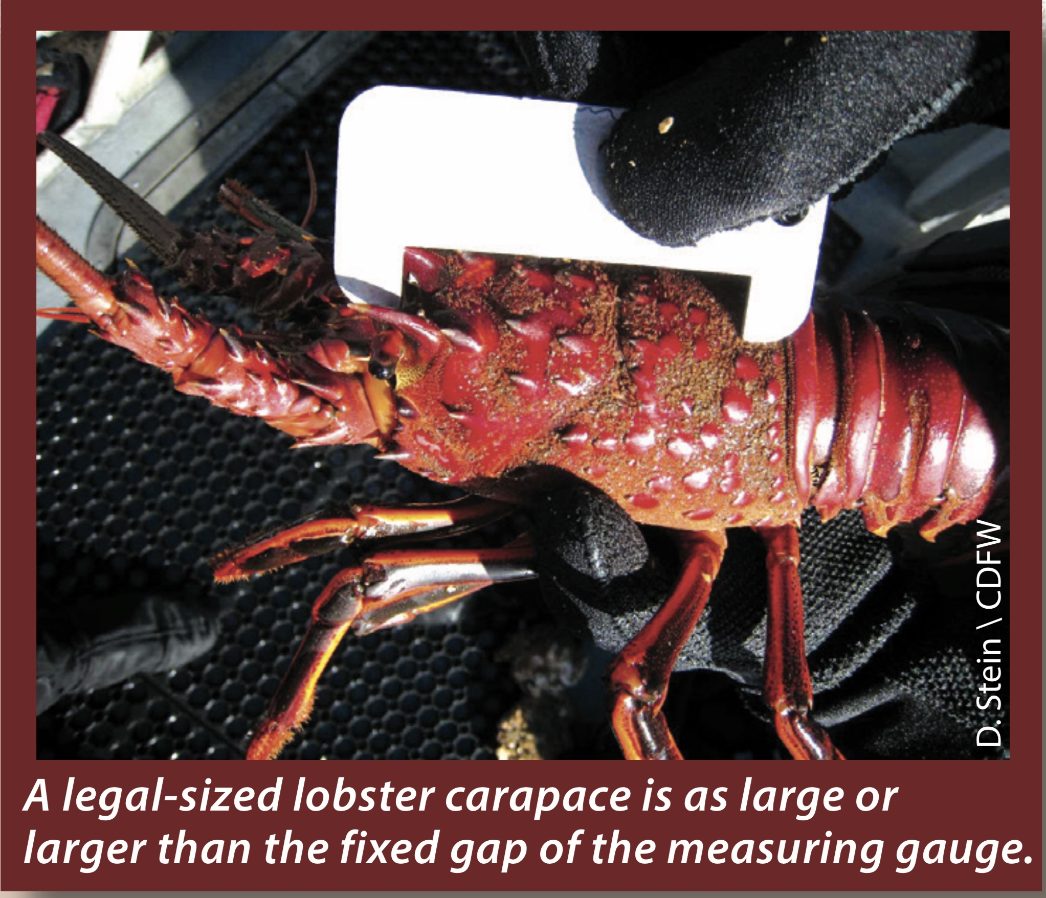 California Spiny Lobster Season