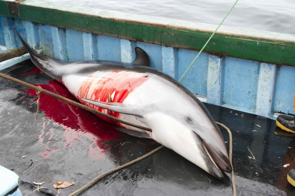 Dolphin Slaughter Fueled by Illegal Shark Trade